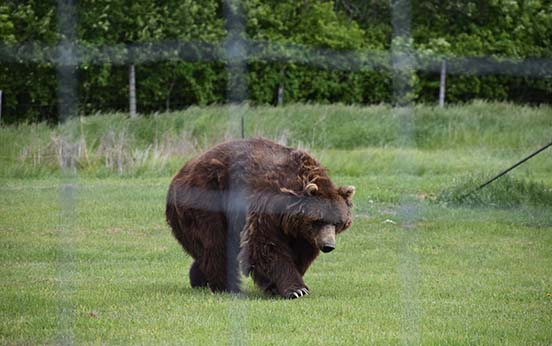 Brown Bear Captured by Wildlife Photographer Ottawa - Excellent Photography